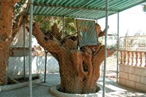 Дерево в Иерихоне на которое залазил Закхей