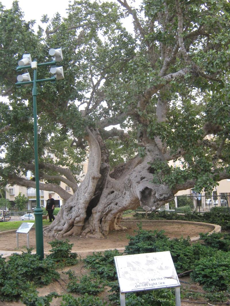 Современный вид того самого дерева смоковницы